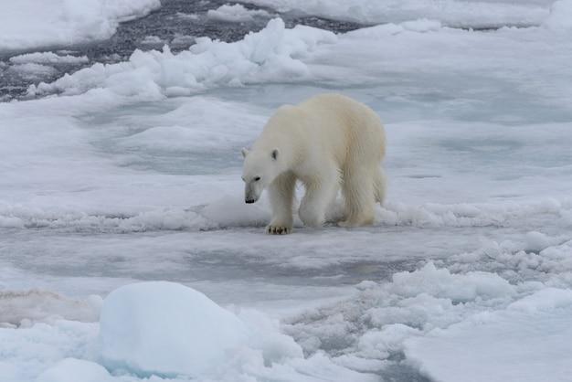 Wilde ijsbeer op pakijs in de noordelijke ijszee