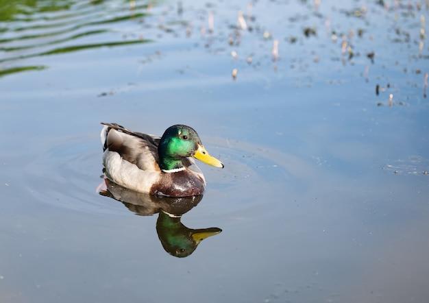 Wilde jonge mooie eend op het meer