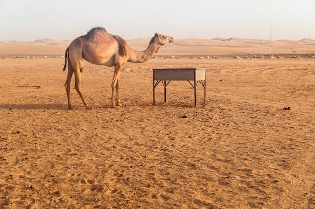 Wilde kamelen in de woestijn