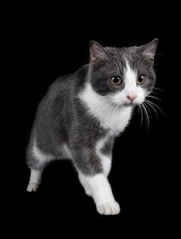Wilde kat geïsoleerd op zwart