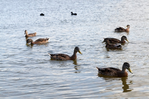 Wilde kleine eenden op het grondgebied van meren, lenteseizoen met wilde vogels eenden, wilde eenden in de natuurlijke omgeving