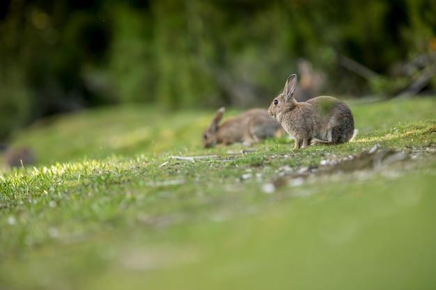 Wilde konijnen in het bos op zoek naar het zachtste gras