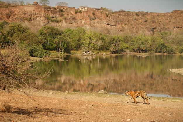 Wilde koninklijke bengaalse tijger in natuurhabitat van ranthambhore national park