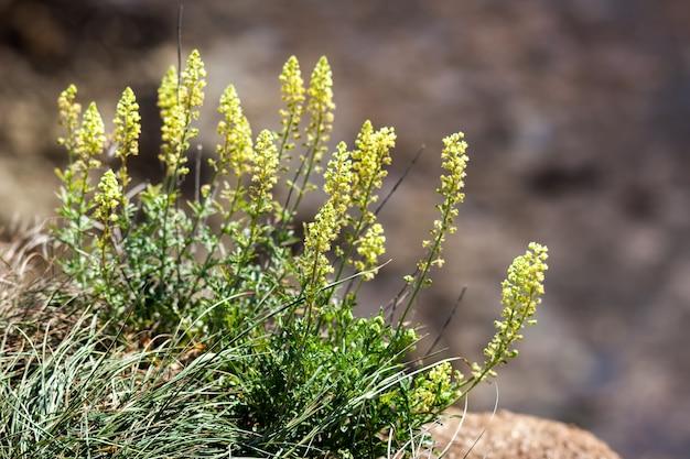 Wilde kool (brassica oleracea) groeit op de klif in de buurt van beachy head