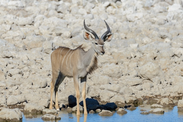 Wilde kudu-antilopen in de afrikaanse savanne