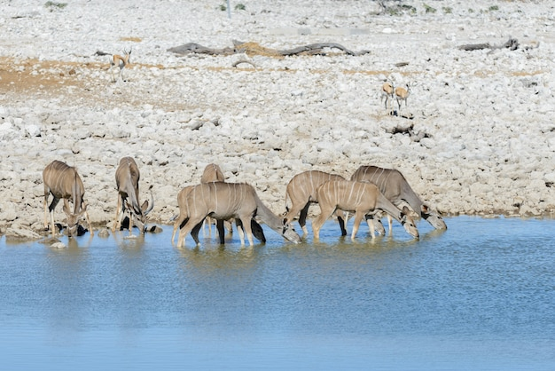 Wilde kudu antilopen in de afrikaanse savanne