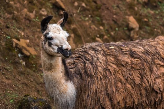 Wilde lama in een reservaat