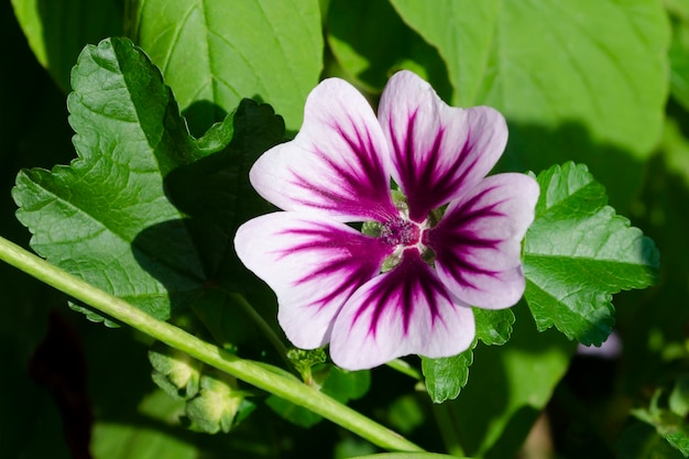Wilde lavatera malva-bloem in roze paars.