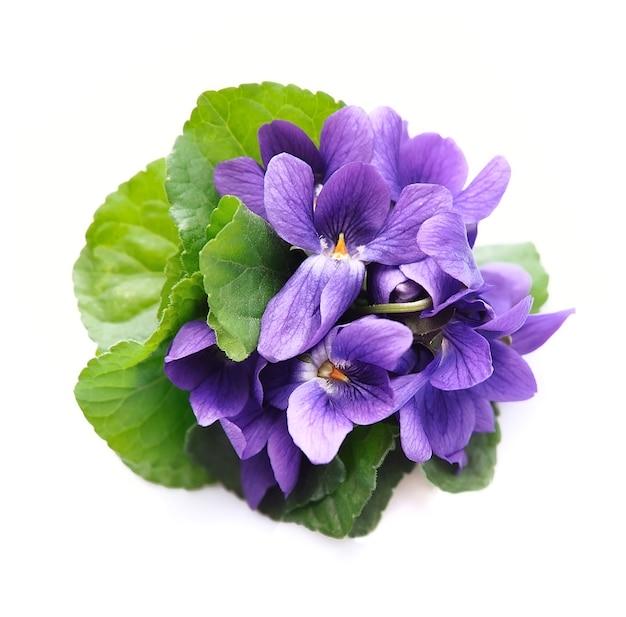 Wilde lentebloemen. violette bloemen geïsoleerd op een witte achtergrond.