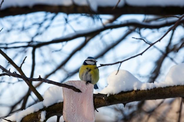 Wilde mezen in het koude winterseizoen, vogels die overwinteren in europa