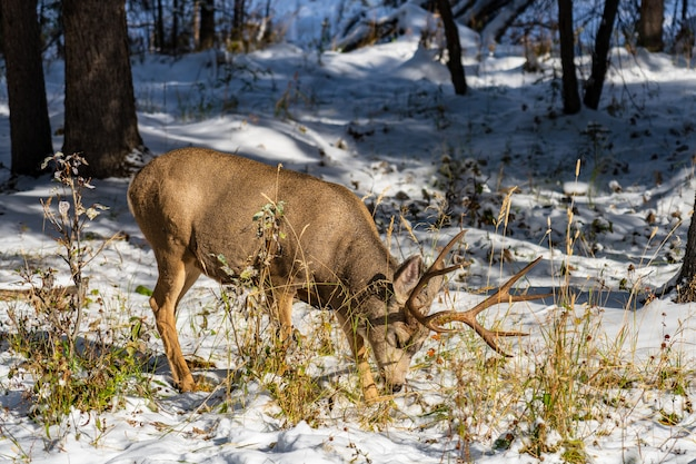 Wilde muilezelherten die onkruid eten dat in de winter in een besneeuwd bos foerageert.