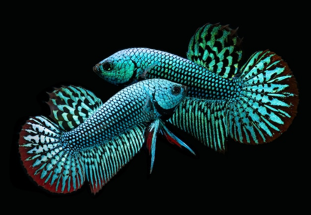 Wilde natuur betta splendens of wilde siamese het vechten vissen met zwarte achtergrond.
