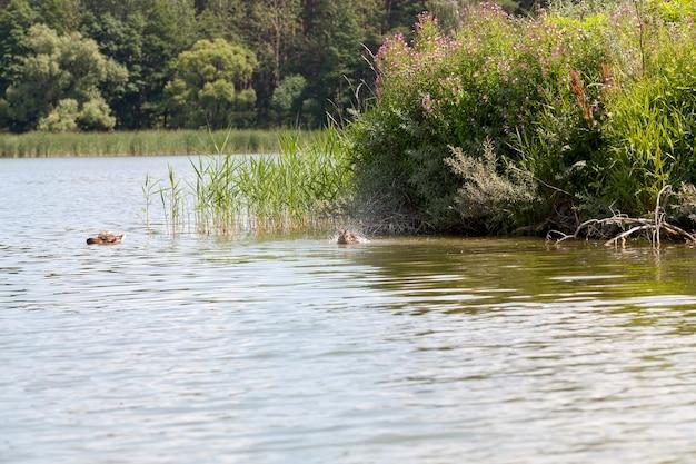 Wilde natuur met vliegende en watervogels, wilde eenden in de lente of zomer in de natuur, prachtige wilde eenden in de natuur