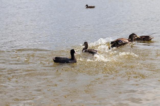Wilde natuur met watervogeleenden, kleine wilde eenden in de lente of zomer in de natuur, mooie wilde eenden in de natuur in het meer