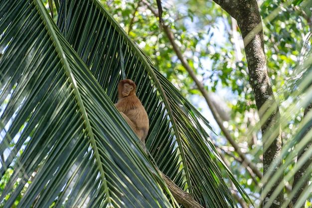 Wilde neusaap of nasalis larvatus, in het regenwoud van borneo, maleisië
