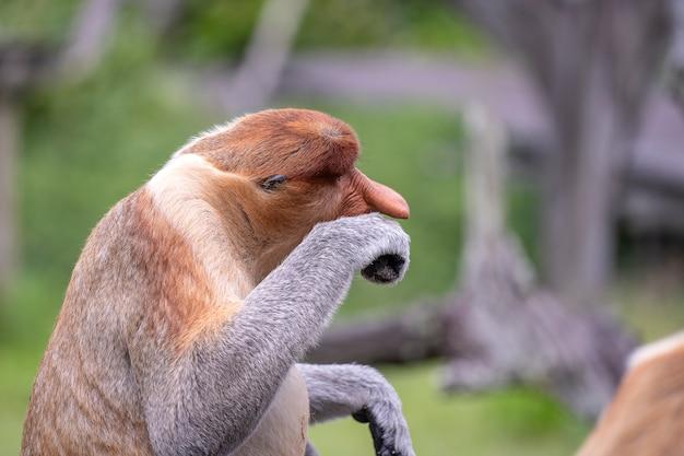 Wilde neusaap of nasalis larvatus, in het regenwoud van borneo