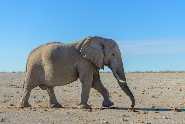 Wilde olifant die in de afrikaanse savanne loopt