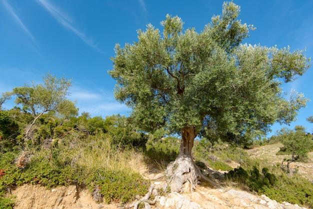Wilde olijfbomen bij de landweg in griekenland