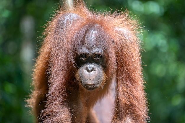 Wilde orang-oetan in het regenwoud van borneo, maleisië. orang-oetan mounkey in de natuur Premium Foto