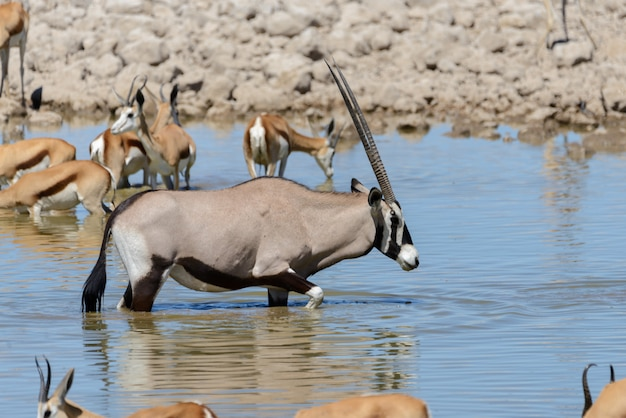 Wilde oryx antilopen in de afrikaanse savanne