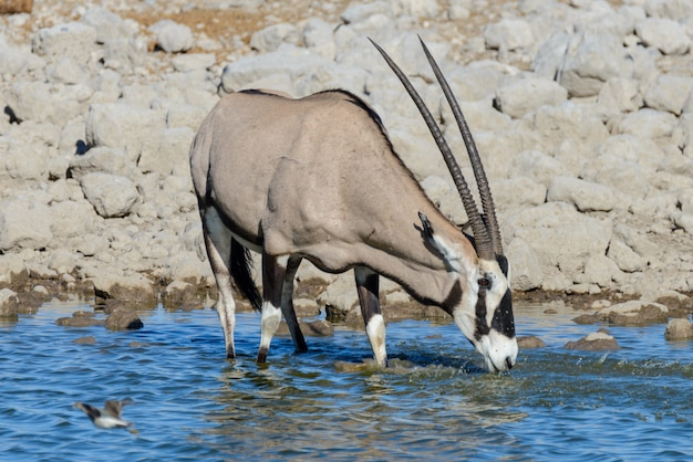 Wilde oryxantilope in de afrikaanse savanne