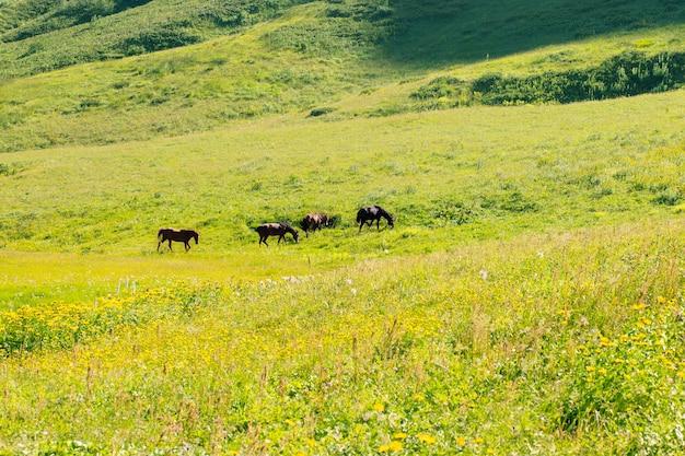 Wilde paarden grazen in een weiland in de natuur in de bergen en eten groen gras.