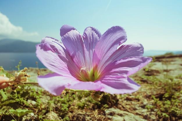 Wilde pitunia groeit op een rotsachtig terrein in de open lucht. op de achtergrond de zee en het gebergte.