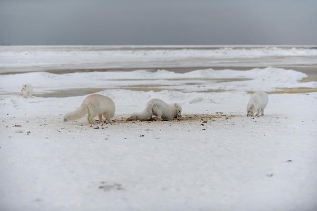 Wilde poolvos die sneeuw graaft op het strand witte poolvos op zoek naar voedsel in toendra