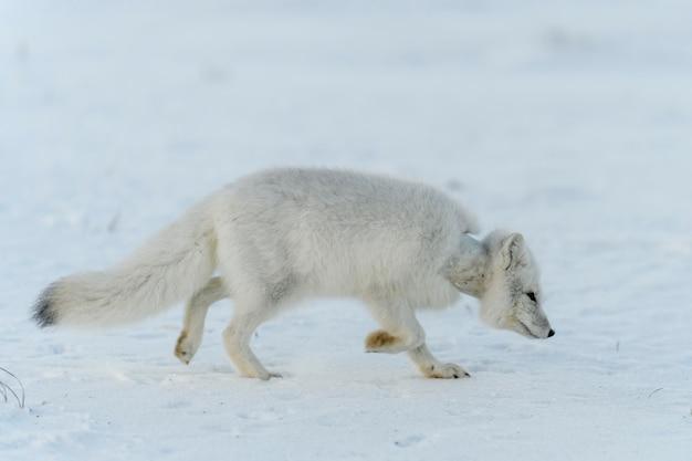 Wilde poolvos met plastic in zijn nek in wintertoendra ecologieprobleem plasticvervuiling