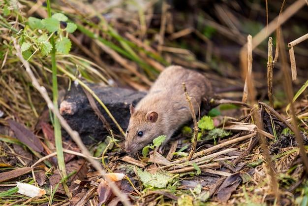Wilde rat die buiten een stuk brood eet.
