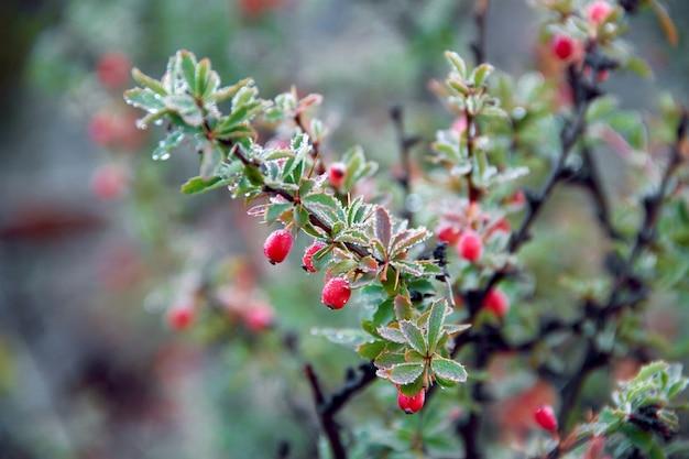 Wilde rode bessen groeien in het bos op de bush