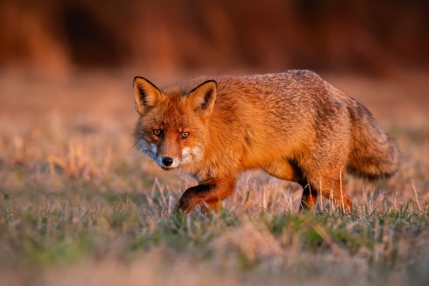 Wilde rode vos die op weide in de herfstzonsopgang sluipt.
