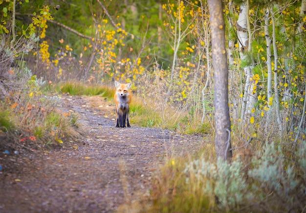 Wilde rode vos in het bos