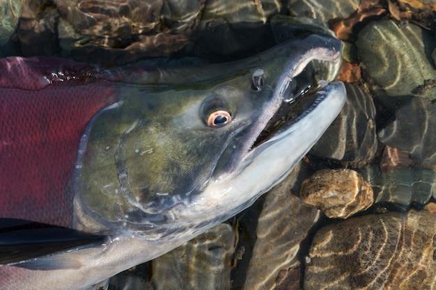 Wilde rode zalm vis sockeye zalm oncorhynchus nerka zwemmen in ondiep water in de rivier, ademt zwaar. pacifische zalmrode kleur tijdens het uitzetten, sterft na het uitzetten. close-up van vissensnuit