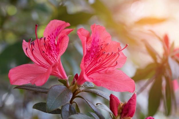 Wilde roos bloeiend in de tuin (rhododendron arboreum)