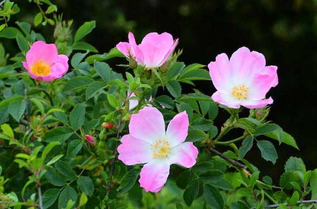 Wilde roos (rosa canina) in bloei