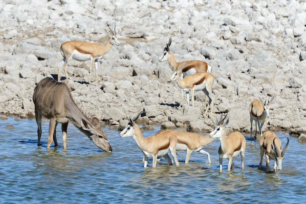 Wilde springbok antilopen in de afrikaanse savanne