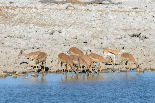 Wilde springbokantilopen in de afrikaanse savanne