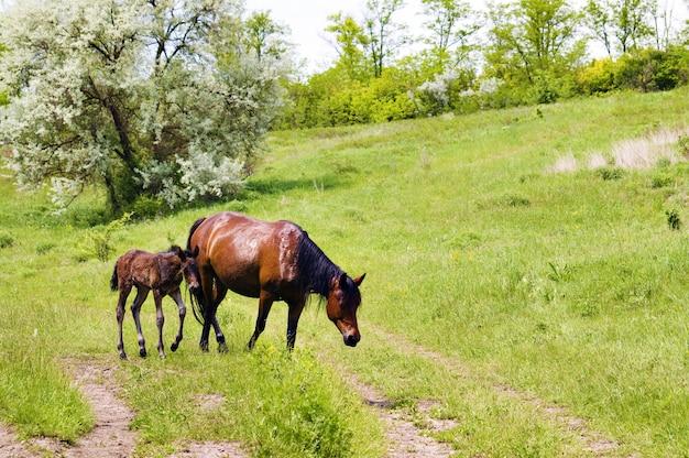 Wilde steppepaarden op grazen