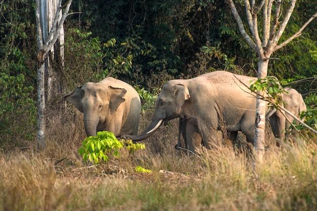 Wilde thaise olifant in het bos