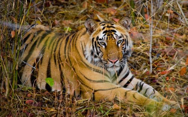 Wilde tijger die op het gras ligt nationaal park bandhavgarh van india