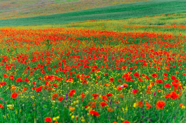Wilde velden van rode papavers op de krim, bakhchisarai.