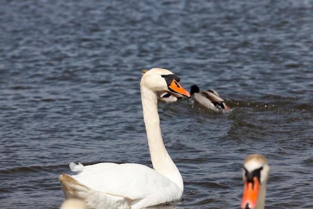 Wilde vogels die zwanen in het water van het meer of de rivier zwemmen, zwanen die op het meer drijven, mooie watervogelszwanen in het water