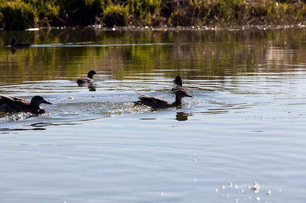 Wilde vogels eenden in hun natuurlijke habitat, watervogels in het wild, wilde eenden in de lente of zomer in europa