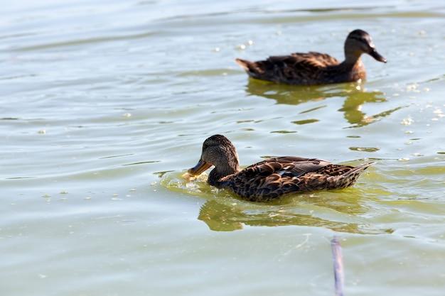 Wilde vogels eenden in hun natuurlijke habitat