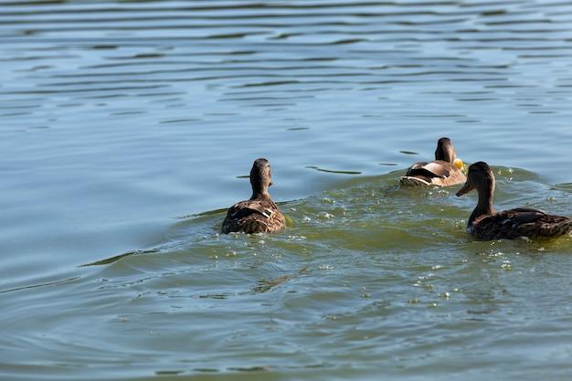 Wilde vogels eenden in hun natuurlijke habitat Premium Foto
