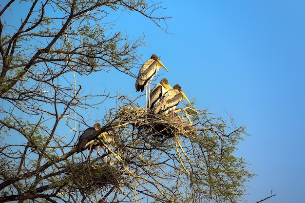 Wilde vogels zitten in een boom in het nest. nationaal park vogels agra india, dieren in het wild.