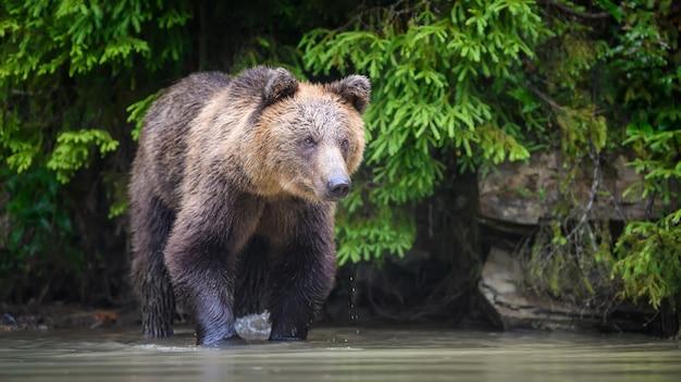 Wilde volwassen bruine beer (ursus arctos) in het water. gevaarlijk dier in de natuur. wildlife scène