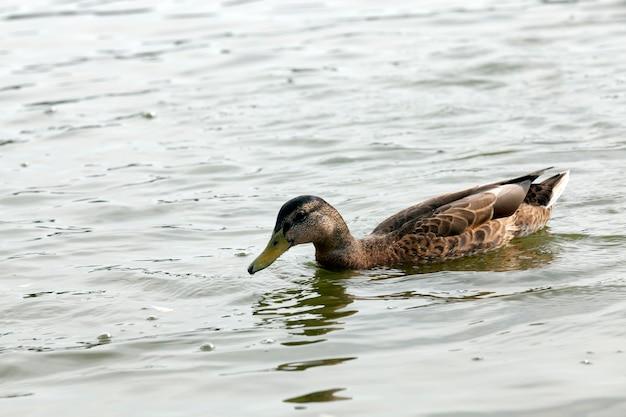 Wilde watervogels eenden in de buurt van hun leefgebied, natuurlijke omgeving voor wilde vogels, echte levende eenden in het wild