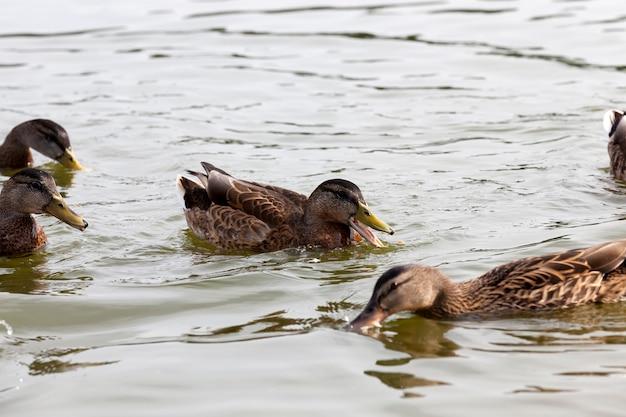 Wilde watervogels eenden in de buurt van hun leefgebied, natuurlijke omgeving voor wilde vogels
